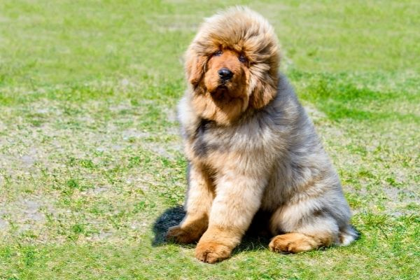 fluffy dog breed sitting on the grass
